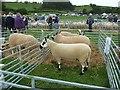 SJ0209 : Sheep pens at Llanfair Show by Penny Mayes