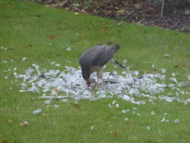 Sparrowhawk having lunch in Wisbech St Mary