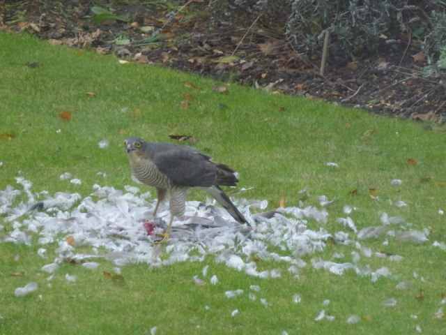 Sparrowhawk eating a dove in Wisbech St Mary
