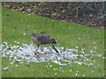 TF4208 : Sparrowhawk eating a dove in Wisbech St Mary by Richard Humphrey