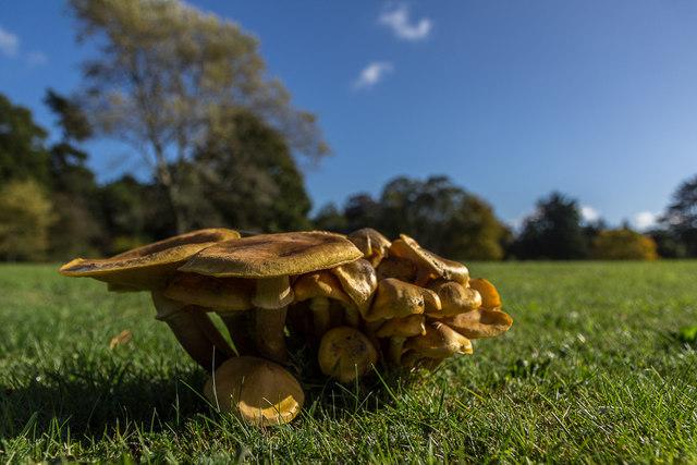 Honey Fungus, Sandringham House Park, Norfolk