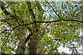 TQ2997 : Damaged Oak Tree, Trent Park, Cockfosters, Hertfordshire by Christine Matthews