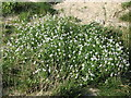 C1644 : Wild flowers on sand-dunes at Ballyhoorisky by Willie Duffin