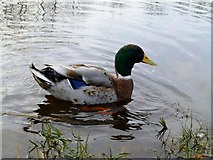H4572 : Male duck, Omagh by Kenneth  Allen