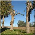 TL3149 : Pollarded trees in Croydon churchyard by John Sutton
