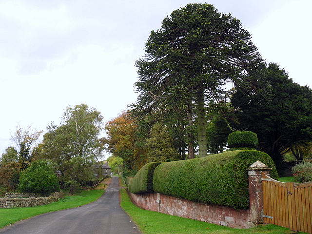 A monkey puzzle tree and neat hedge