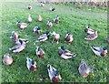 SD3931 : Disgruntled ducks in disbelief by Barbara Carr