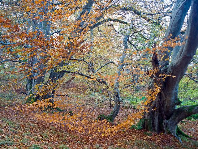 Beech in Drummondreach Wood
