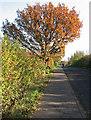 TL3656 : Meridian oak by John Sutton