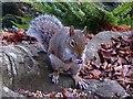 ST3087 : Grey Squirrel, Belle Vue Park, Newport by Robin Drayton