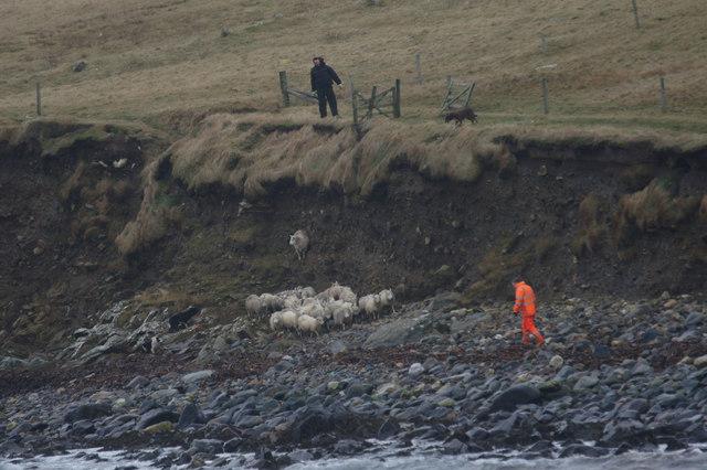 Caaing sheep at the Westing beach