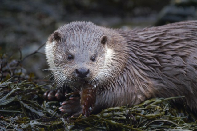 Otter (Lutra lutra), Westing