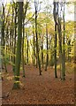 SU8286 : Beech woodland, Hollowhill Wood, November (2) by Stefan Czapski