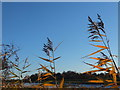 SD4041 : Water reed beside the Wyre by Barbara Carr