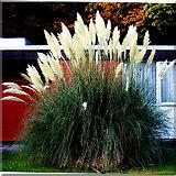 L9984 : Westport - New(port) Road - Hotel Westport - Pampas Grass by Joseph Mischyshyn