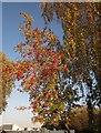 SX8671 : Rowan berries, Newton Abbot by Derek Harper