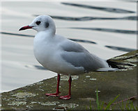 SK5803 : Black-headed gull by Mat Fascione