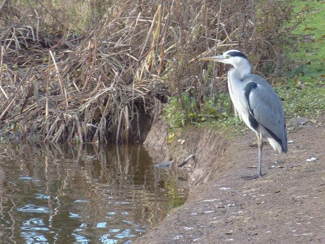 Heron by the lake