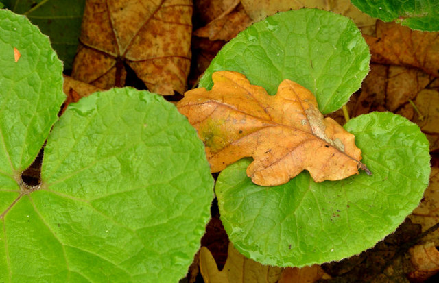 Butterbur leaves, Helen's Bay