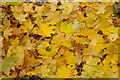 SO2620 : Maple leaves by Philip Halling