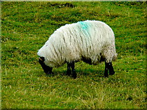 F6307 : Achill Island - Deserted Village - Sheep Grazing by Joseph Mischyshyn
