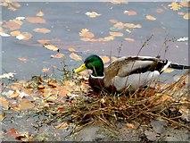 H4572 : Wild ducks, Omagh (2) by Kenneth  Allen