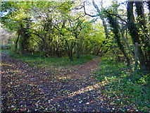 SU8113 : Track and path diverge in Wildhams Wood by Shazz