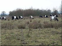 NZ2275 : Belted Galloway cattle by Oliver Dixon