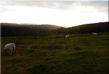 SU8214 : Sheep grazing on Chilgrove Hill by Shazz
