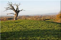 SO6561 : Dead oak tree by Philip Halling