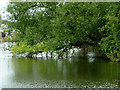 SO8163 : Riverside willow south-east of Shrawley, Worcestershire by Roger  Kidd