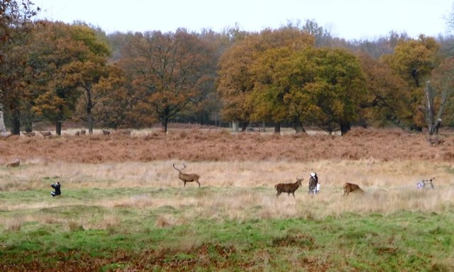 Too close to the red deer, Richmond Park