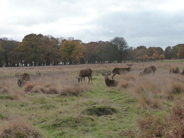 Red deer, Richmond Park