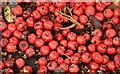 J3471 : Cotoneaster berries, Stranmillis, Belfast (2) by Albert Bridge