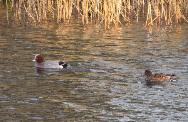 Wigeon pair, Great Lake