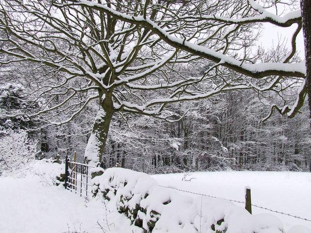 Marsh Green Kelstege, Beech trees in the snow