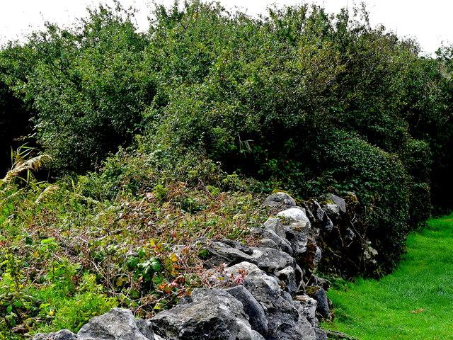 Burren - Poulnabrone Dolmen Area - Stone Wall, Scrub, Large Bushes & Ivy