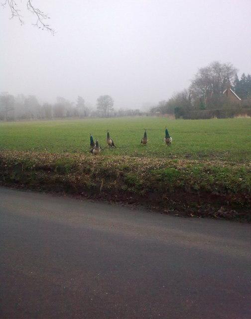 Peacocks on Church Land Trust Field