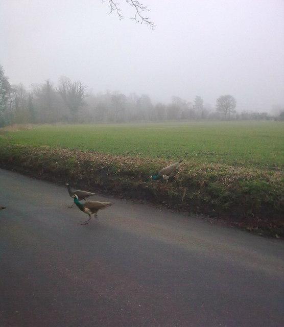 Peacocks crossing Sibton Road