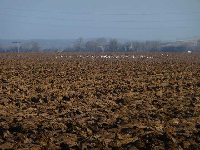 Gulls on newly-ploughed field