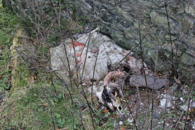 Dead sheep at Druidale