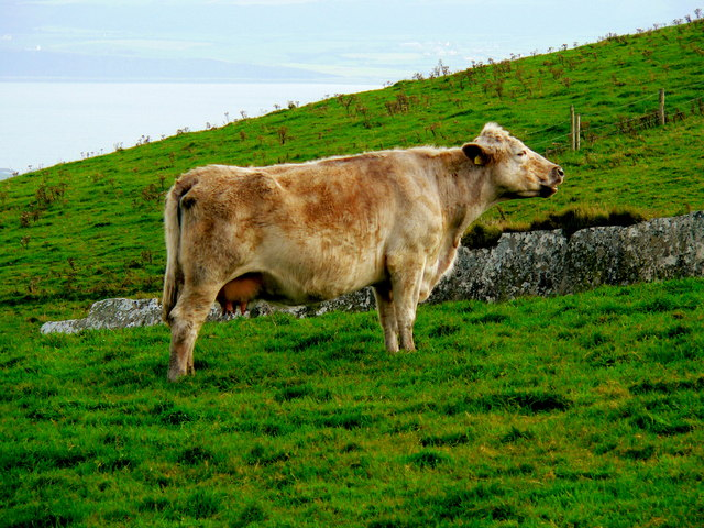 Cliffs of Moher Area - Green Grass = Healthy Cow