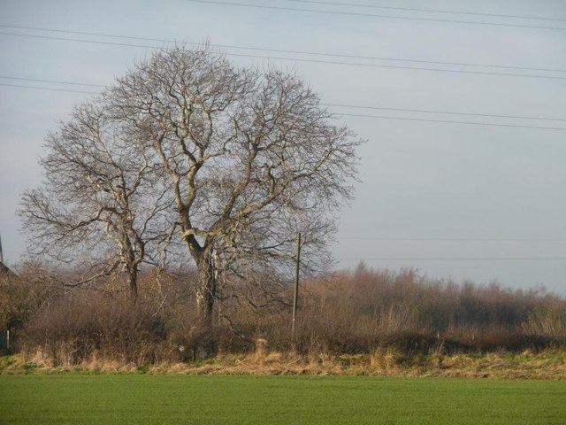 A pair of winter trees, east of Warren Farm