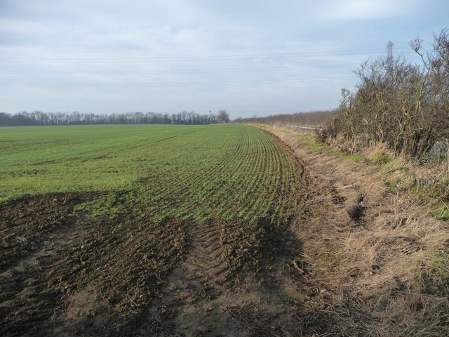 Emerging crop, south of the road to Peckfield Quarry