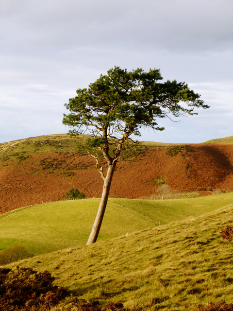 Fine pine by the Clwydian Way