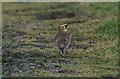 HP6715 : Shore Lark (Eremophila alpestris), Lamba Ness by Mike Pennington