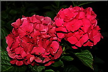 R4560 : Bunratty Castle Hotel Grounds - Two Red Flowers & Green Leaves on Shrub  by Joseph Mischyshyn