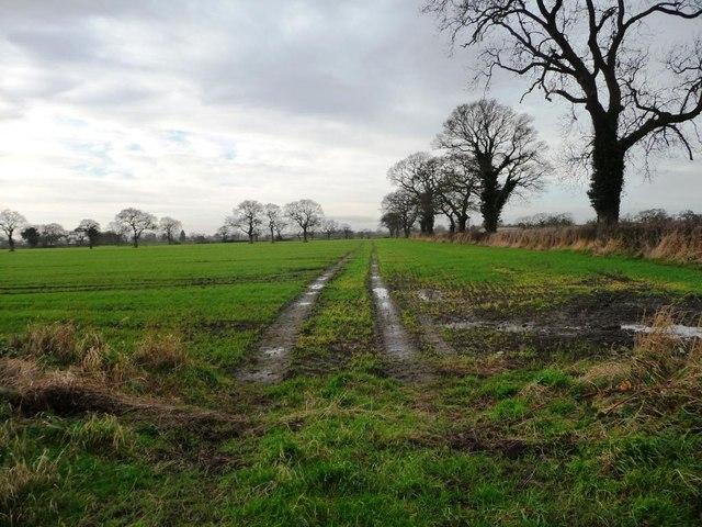Muddy tracks through an emerging crop