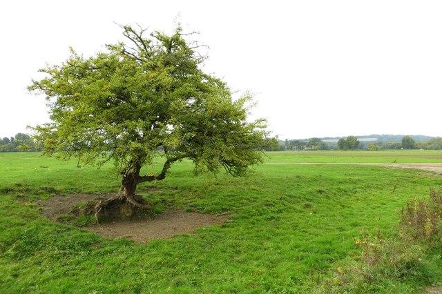 A tree on Port Meadow