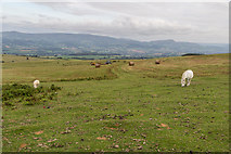 SO1544 : Sheep and Pony on Moorland near Begwyns Roundabout by Christine Matthews